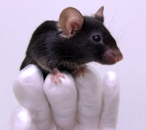 Researcher holding black mouse