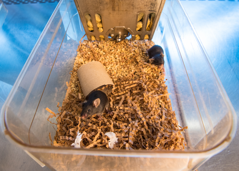 Black laboratory mice in nesting material