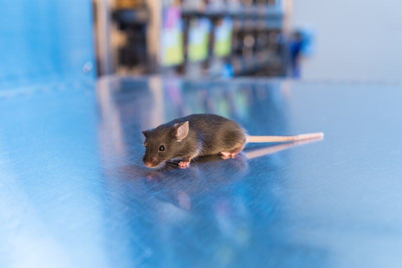 Black laboratory mouse