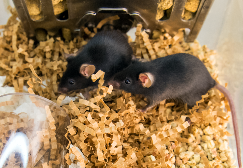Two black mice play in enclosure with enrichment items
