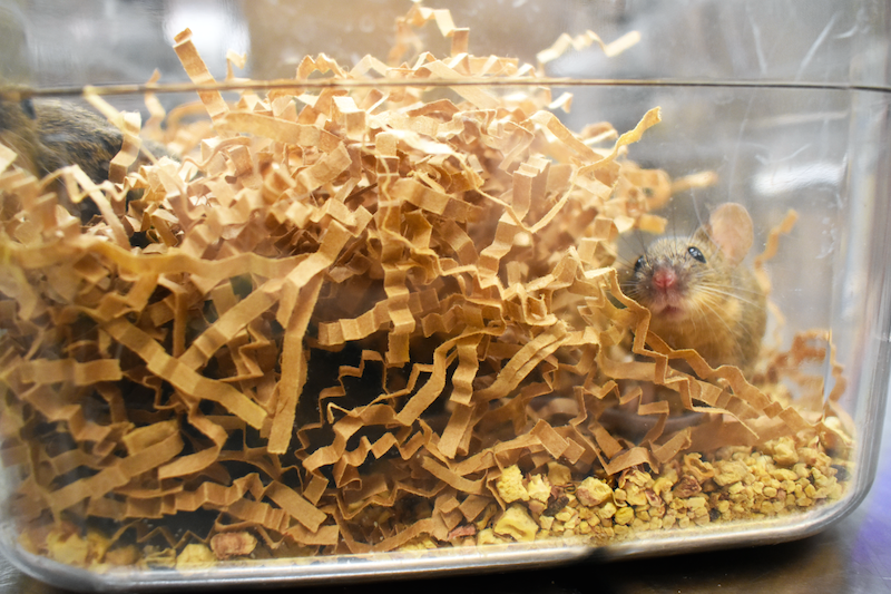 Brown laboratory mouse in nesting material