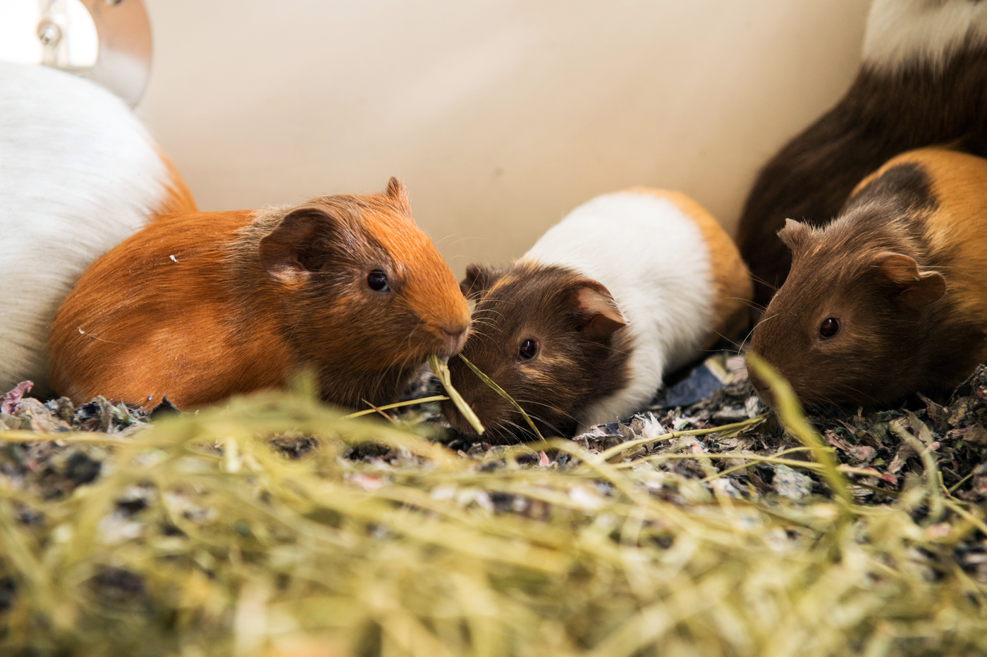 guinea pigs eating hay