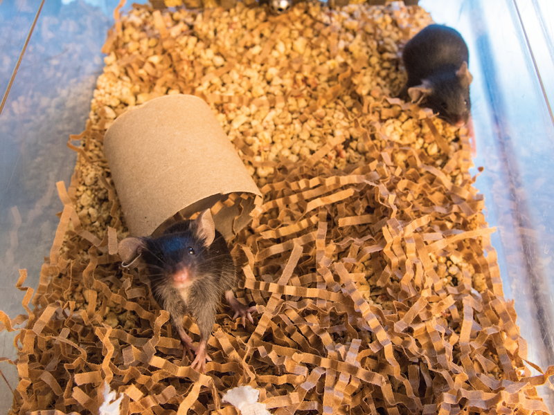 Black mice play in cardboard tube