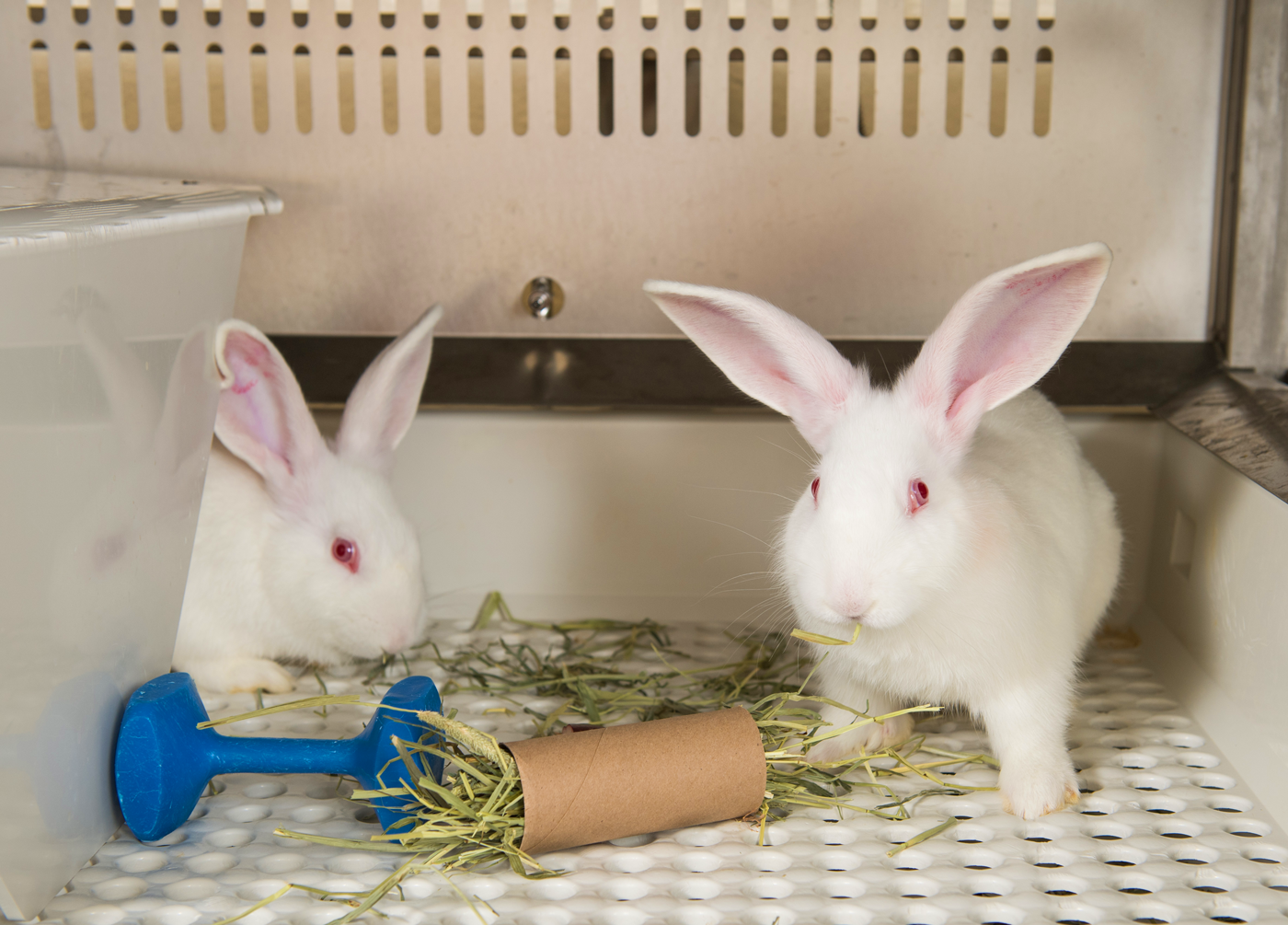 Pair housed rabbits with enrichment