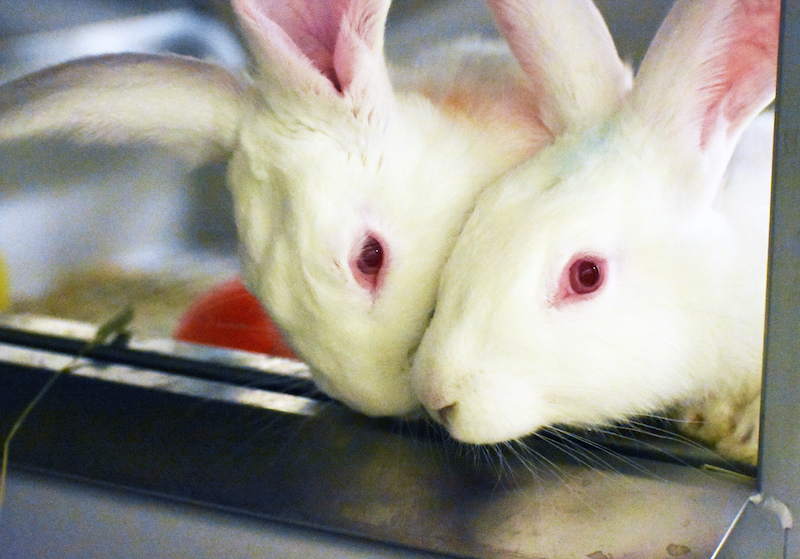 White pair-housed male rabbits