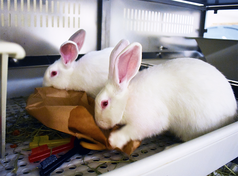 White pair-housed male rabbits with enrichment