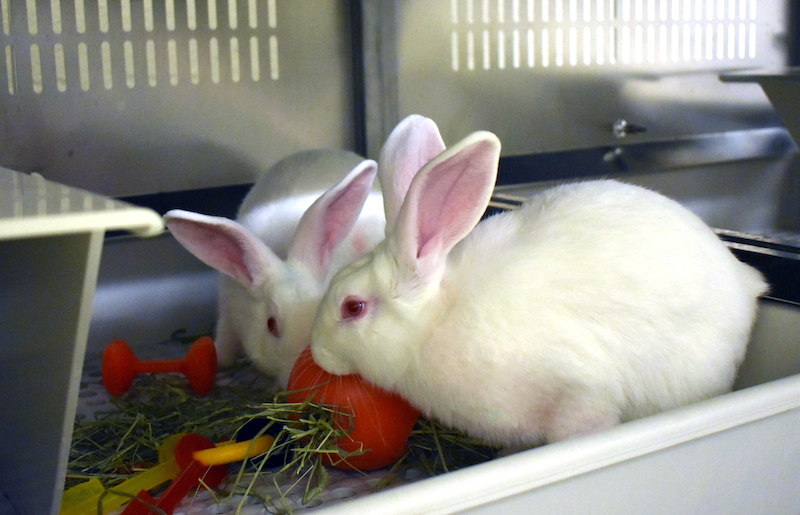 Two pair-housed New Zealand white rabbits play with enrichment toys