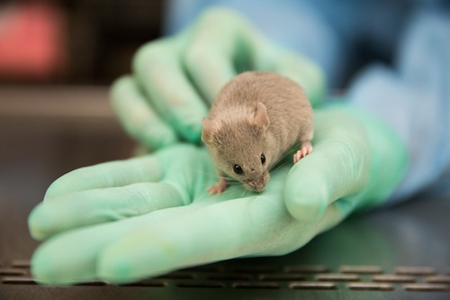 Researcher holding mouse