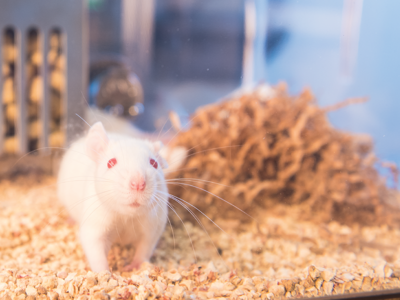 White rat looks at camera with nesting material in the background