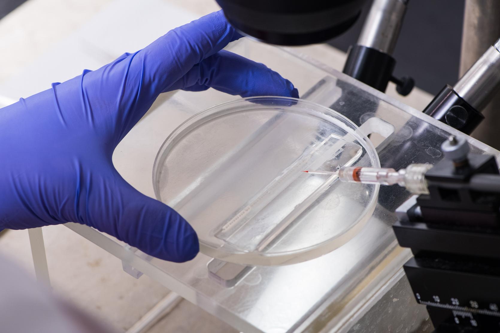 Researcher using microscope to examine zebrafish embryos