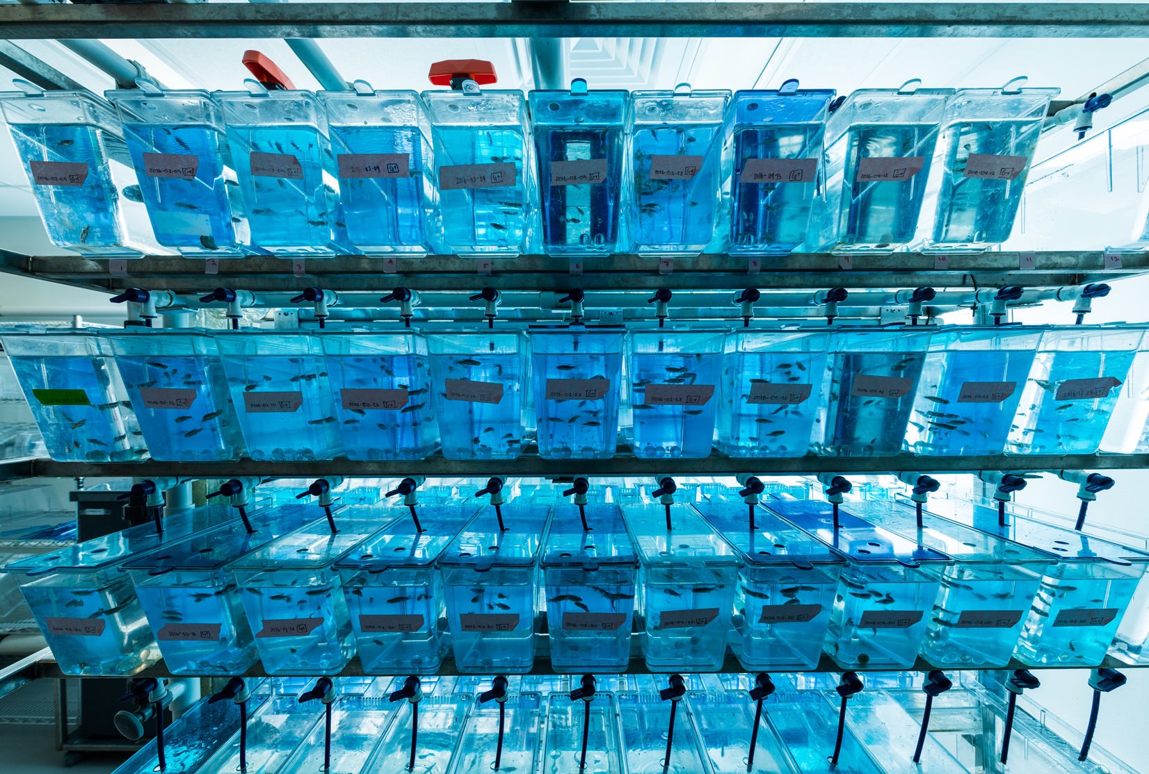 Zebrafish tanks in animal care facility