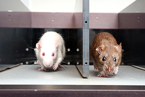 Rats being studied in laboratory
