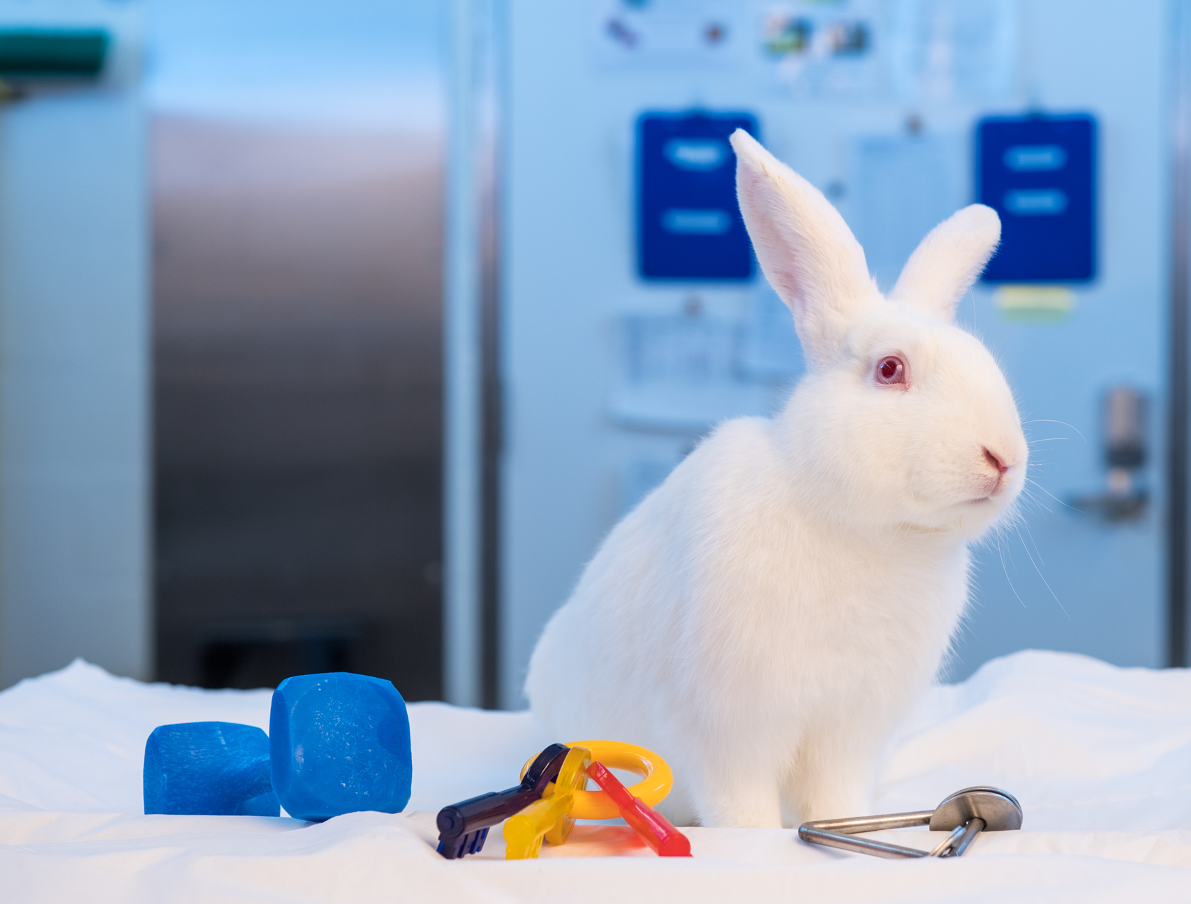 White rabbit with animal enrichment items