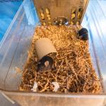 Black laboratory mice in nesting material