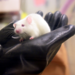 Husbandry technician holds white mouse in germ-free facility