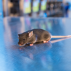 Brown mouse in laboratory