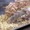 Mouse in nesting material