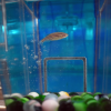 Zebrafish swims in shuttle tank with enrichment items