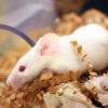 White mouse climbs over bedding into clear enrichment tunnel